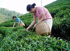 чайные фабрики